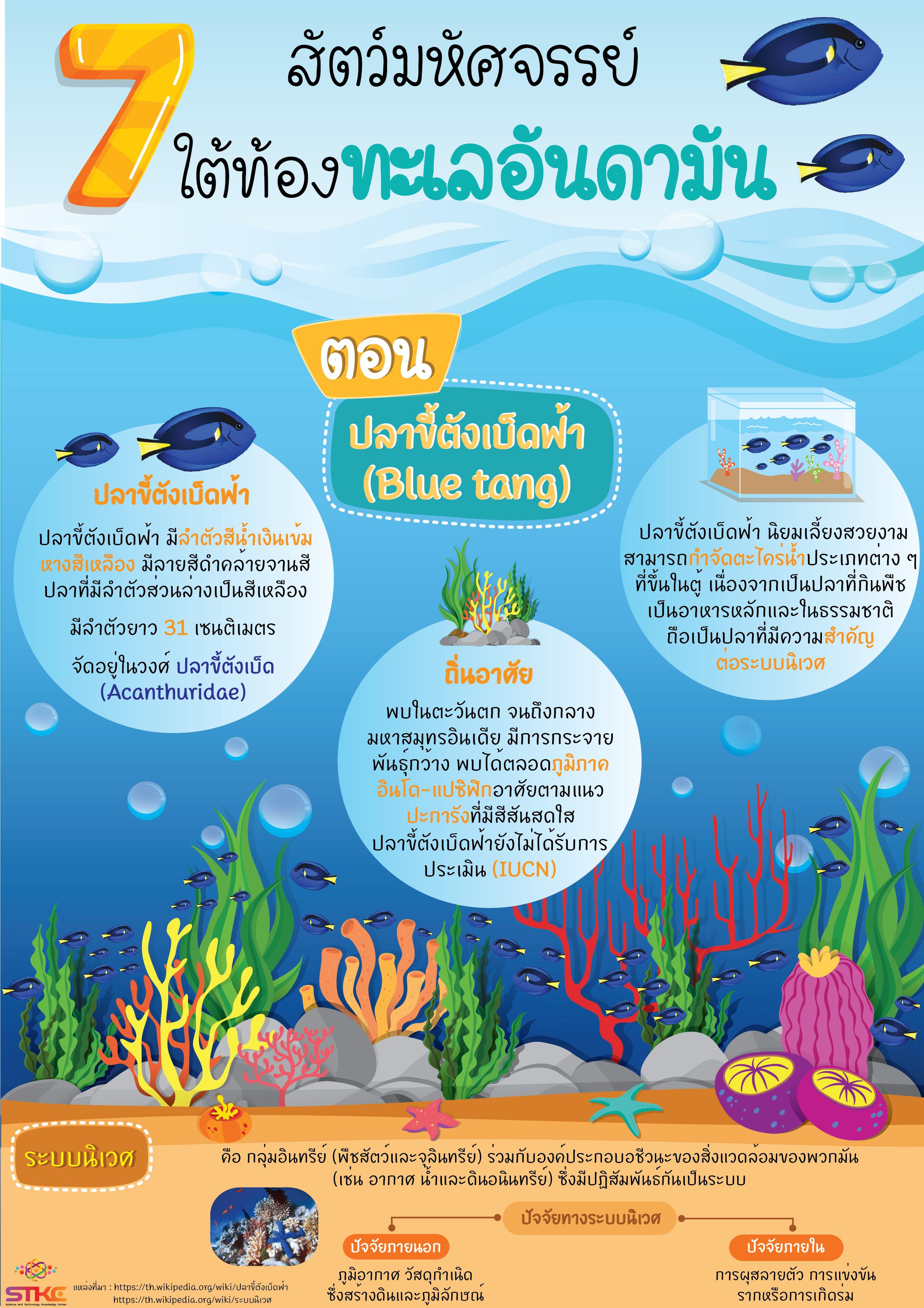 7 สัตว์มหัศจรรย์  ใต้ท้องทะเลอันดามัน ตอน ปลาขี้ตังเบ็ดฟ้า (Blue tang)