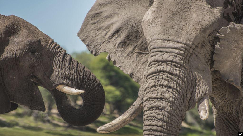 นักวิทย์เผย ช้างเพศผู้ไม่ได้รักสันโดษอย่างที่คิด